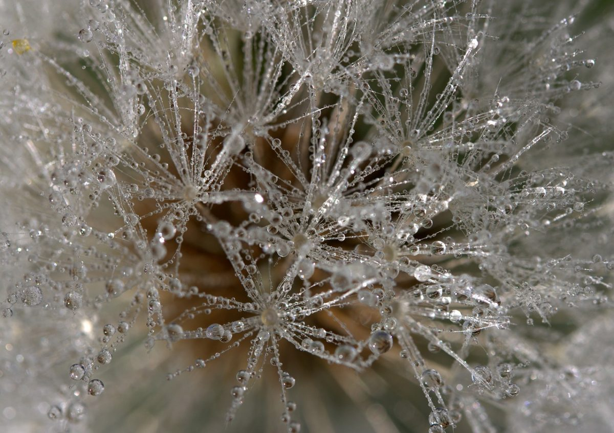 Micro photo of dew on a dandelion